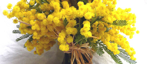 mimose500